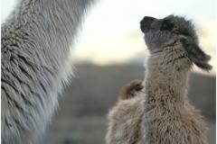 2 lamas-2 copy