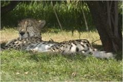 Cheetah copy