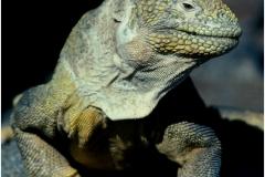 Galapogos iguana copy