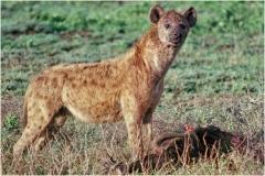 Hyena w Kill 4 print copy