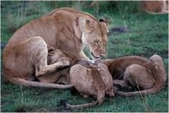 Lions copy