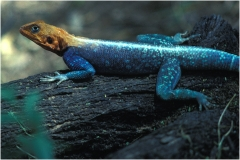Lizard w orange head copy