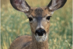 Mule deer copy