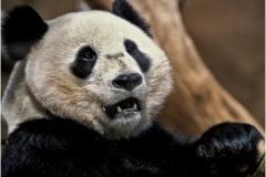 Panda copy