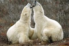 Polar Bear brothers