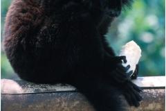 Ruffed lemur copy