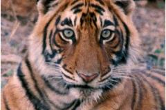 Tiger india copy