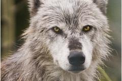 wolf copy