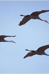 3 cranes copy