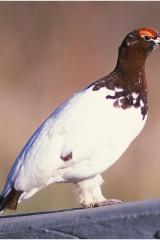 Alaskan grouse copy