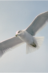 Oblique gull2 copy