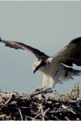 Osprey landing2 copy