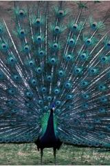 Peacock copy