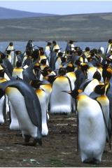 Penguin colony700 copy