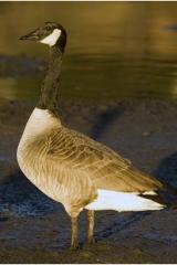 SF Goose copy