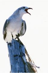 Screeching gull copy