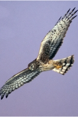 hawk2 copy