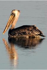 pelican2 copy