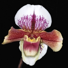 Orchid Sharpened