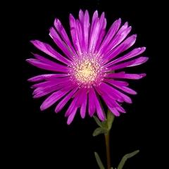 Purple flower 2 Sharp