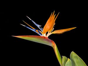Bird of Paradise4Web.jpg