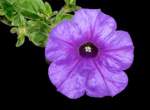 Purple flower Sharp.jpg