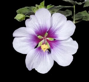 White purple stem.jpg